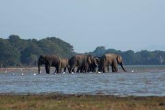 Srilankesisk elefant i löst arkivbild