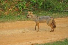 Srilankesisk Jackal Arkivfoto