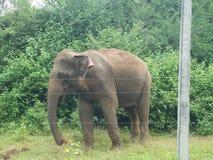 Srilankesisk lös elefant i en fristad royaltyfri bild