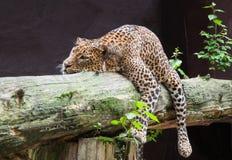 Srilankesisk leopard Arkivfoto