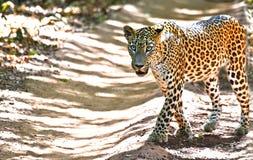Srilankesisk leopard - pantheraen Pardus Kotiya At Wilpattu National parkerar arkivfoto