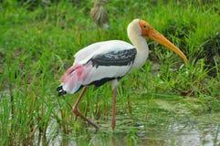 Srilankesisk målad Stork Royaltyfri Fotografi