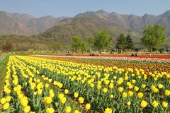 SRINAGAR, INDIA April 2017 : Beautiful colorful tulips in Tulip Festival. 2017 royalty free stock photography