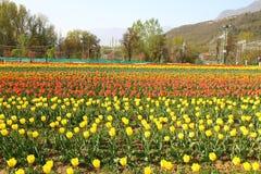 SRINAGAR, INDIA April 2017: Mooie kleurrijke tulpen in Tulip Festival stock afbeelding