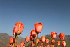 SRINAGAR, INDIA Kwiecień 2017: Piękni kolorowi tulipany w Tulipanowym festiwalu obrazy stock