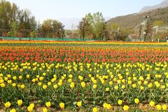 SRINAGAR, INDIEN im April 2017: Schöne bunte Tulpen in Tulip Festival stockbild