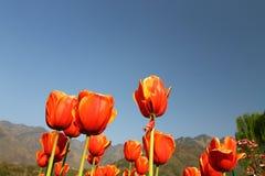 SRINAGAR, la INDIA abril de 2017: Tulipanes coloridos hermosos en tulipán foto de archivo
