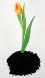 Sring is in the air. A tulip emerges from the earth stock photos