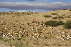 Sringbok herd Royalty Free Stock Photography