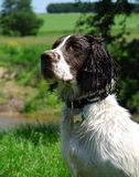 Sringer Spaniel Royalty Free Stock Photography