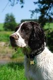 Sringer Spaniel Stock Photos
