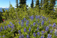 Sringtime flowers in Bristish Columbia. Mount Revelstoke. Canada Royalty Free Stock Photo