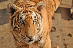 Tiger. Sriracha tiger zoo - chonburi , thailand : Close up of a tiger Royalty Free Stock Images