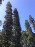 Sörja träd Arkivbilder