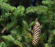 Sörja trädgranfilialer med kottar Fotografering för Bildbyråer