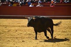 Srogi byk w bullring z dużymi rogami zdjęcia royalty free