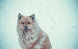Srogi Północny pies zdjęcia royalty free