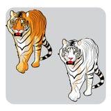Srogi przyglądający tygrys Fotografia Royalty Free