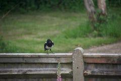 Sroka śmia się na ogrodzeniu zdjęcie stock