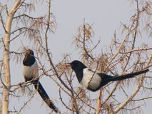 Sroka śpiew na drzewie na zimnym dniu obrazy royalty free