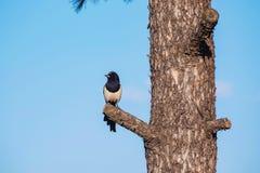 Sroka umieszczająca na drzewie z niebieskim niebem obrazy royalty free