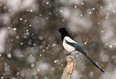Sroka w zimie Zdjęcie Royalty Free