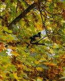 Sroki obsiadanie na drzewie zdjęcie stock