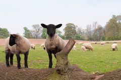 Srping lambs sprung on to fallen tree Stock Photos