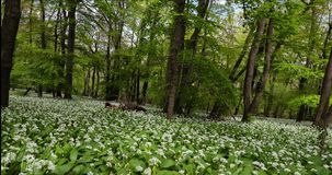 Wild garlic field in the forest. Srping time. The wild garlic in large quantities stock footage