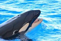 Ssak orki zabójcy wieloryba ryba zdjęcia stock