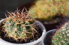 Ssp conservato in vaso del riojense del gymnocalycium del cactus kozelskyanum Fotografia Stock