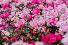 Ssp d'arboreum de rhododendron Delavayi Franch Chamberlain est les usines sauvages rares de la Thaïlande La beauté attirante Photos libres de droits