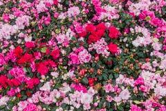 Ssp Delavayi Franch d'arboreum de rhododendron en Thaïlande, selon Chamberlain, forêt de pays, il a trouvé le longboriwen dans t Image stock