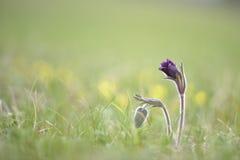 Ssp do pratensis do Pulsatilla, nigricans - flor de pasque pequena, espécie em vias de extinção rara imagens de stock