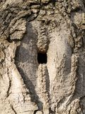Square hollow or hole in a tree trunk at the place where a branch had been broken long time ago. It is a good place for a bird nest. Close up stock photos