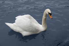 Sswimming swan Royalty Free Stock Images