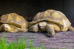 Stående av en nigra för helonoidis för ¡ för elfenbensköldpadda Ð arkivbilder