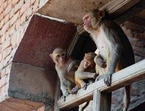 Städtische Affefamilie überblickt Szene unten Lizenzfreie Stockfotos