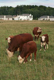 Städtische Ausbreitung: Häuser gegen Kühe stockbilder