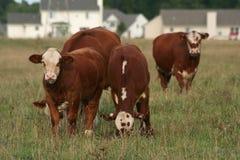 Städtische Ausbreitung: Häuser gegen Kühe Stockfoto