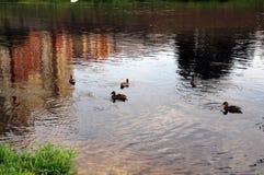 Städtische Enten, die im Teich schwimmen lizenzfreies stockbild