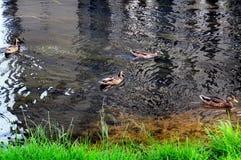 Städtische Enten, die im Teich schwimmen lizenzfreies stockfoto