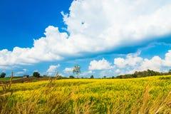 Städtische Felder in Thailand- und Crotalariajuncea Lizenzfreies Stockbild