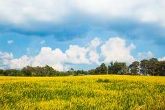 Städtische Felder in Thailand- und Crotalariajuncea Lizenzfreie Stockfotos