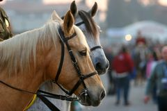Städtische Pferde Lizenzfreies Stockfoto
