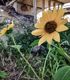 Städtische Sonnenblume stockfotografie