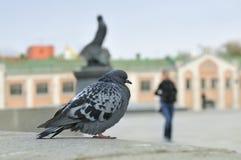 Städtische Taube, die auf einem Steingeländer sitzt Lizenzfreie Stockfotografie