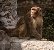 Städtischer Affe überblickt Szene unten Lizenzfreies Stockfoto