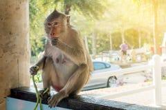 Städtischer Affe auf Inselsitzen Lizenzfreie Stockfotos
