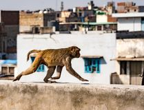 Städtischer Affe geht auf eine Wand Lizenzfreies Stockbild
